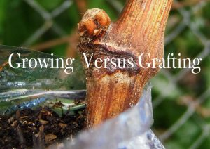 Growing versus grafting