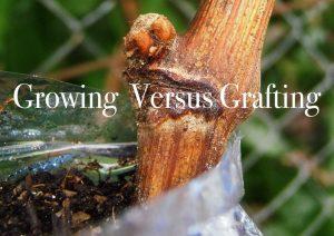 Growing versus grafting